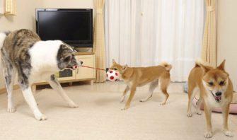 相性がいい犬種、悪い犬種は?日本犬同士の多頭飼いの作法をしゃぶりつくす!