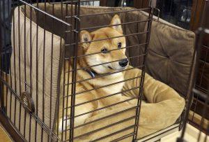 日本犬の留守番