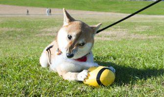 【犬の記憶力】ネガティブなことを覚えやすい日本犬は根にもつタイプ?
