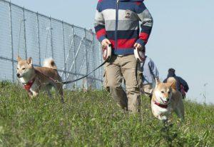 柴犬と河川敷