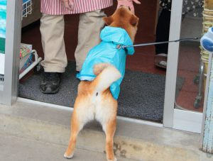 柴犬のしっぽ