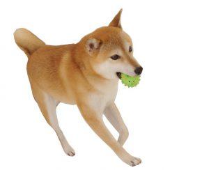 柴犬の筋肉
