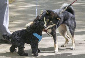 信用する柴犬