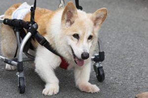 犬の変性性脊髄症