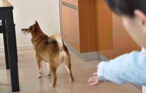 柴犬にモテる方法