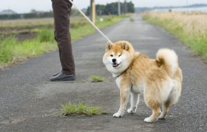 散歩嫌いな犬