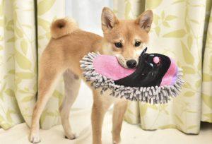 日本犬のしつけ