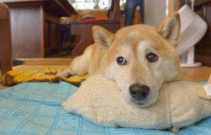 犬のロコモ対策