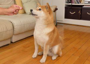 flexão para cães