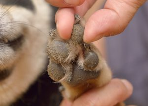 alongamento dos pés dos cães