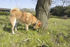 草を食べる犬