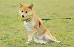 犬のオスワリ
