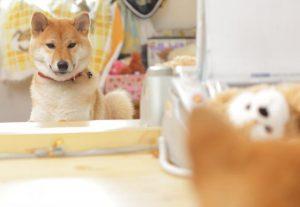 綺麗好きな柴犬