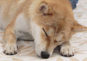 M眉の柴犬