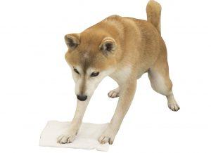 掃除する柴犬