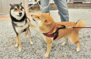 柴犬の友情