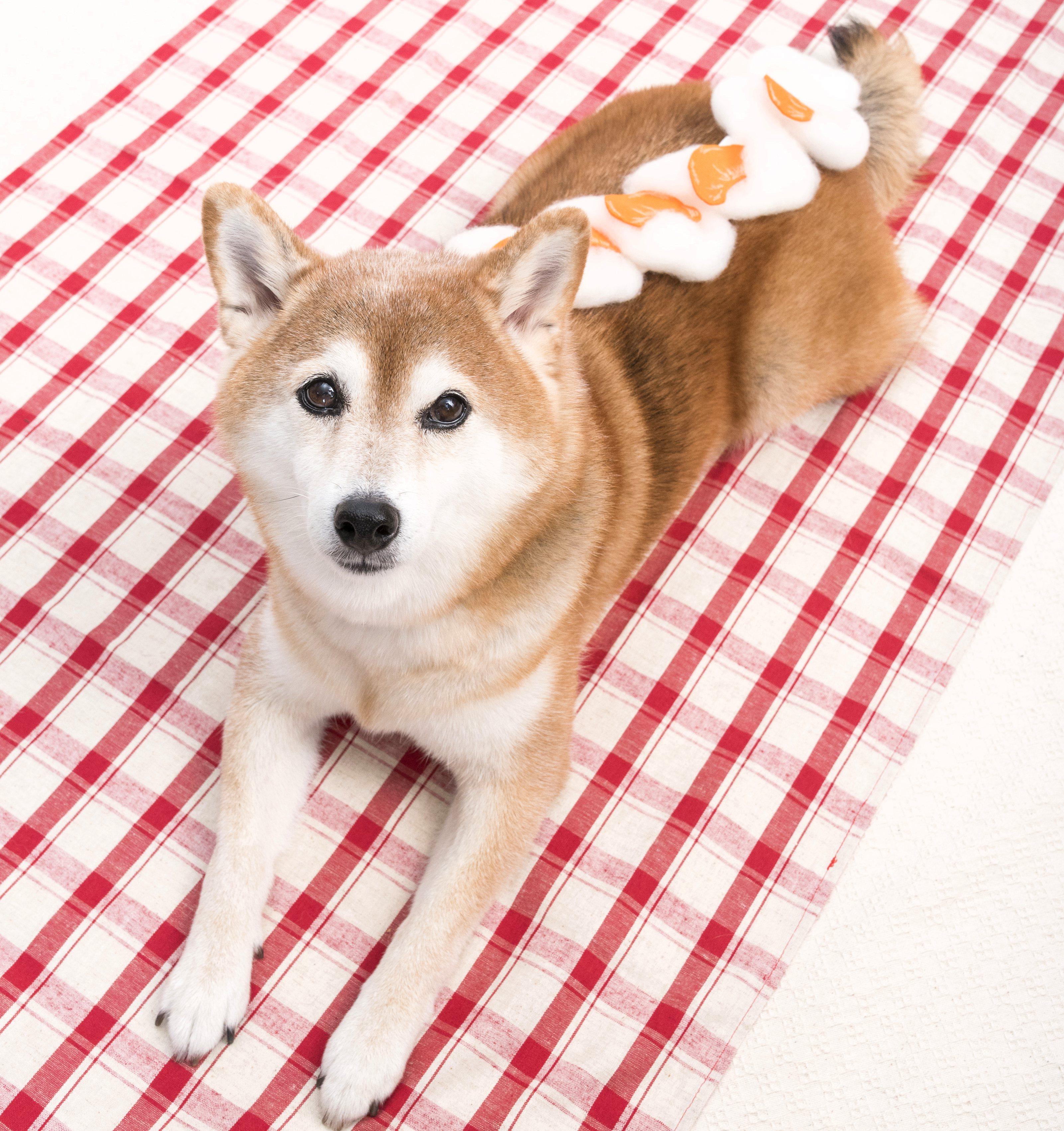 コッペパンの柴犬