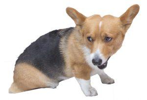 犬に増えている胆嚢の病気