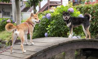 柴犬の距離感