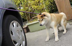 無抵抗な柴犬