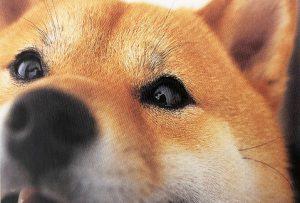 柴犬の目の病気