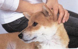 柴犬のマッサージ