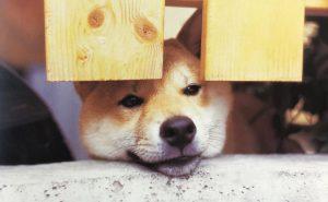 頑固な性格の柴犬
