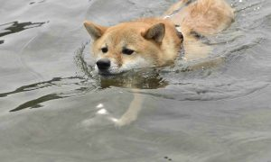 柴犬の犬かき