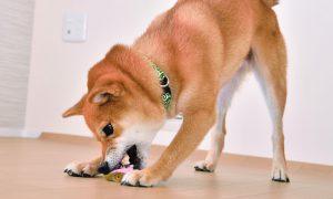 柴犬のムキッ歯