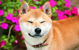 猫をかぶる柴犬