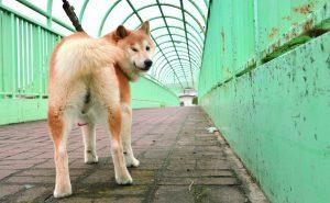 未去勢の犬