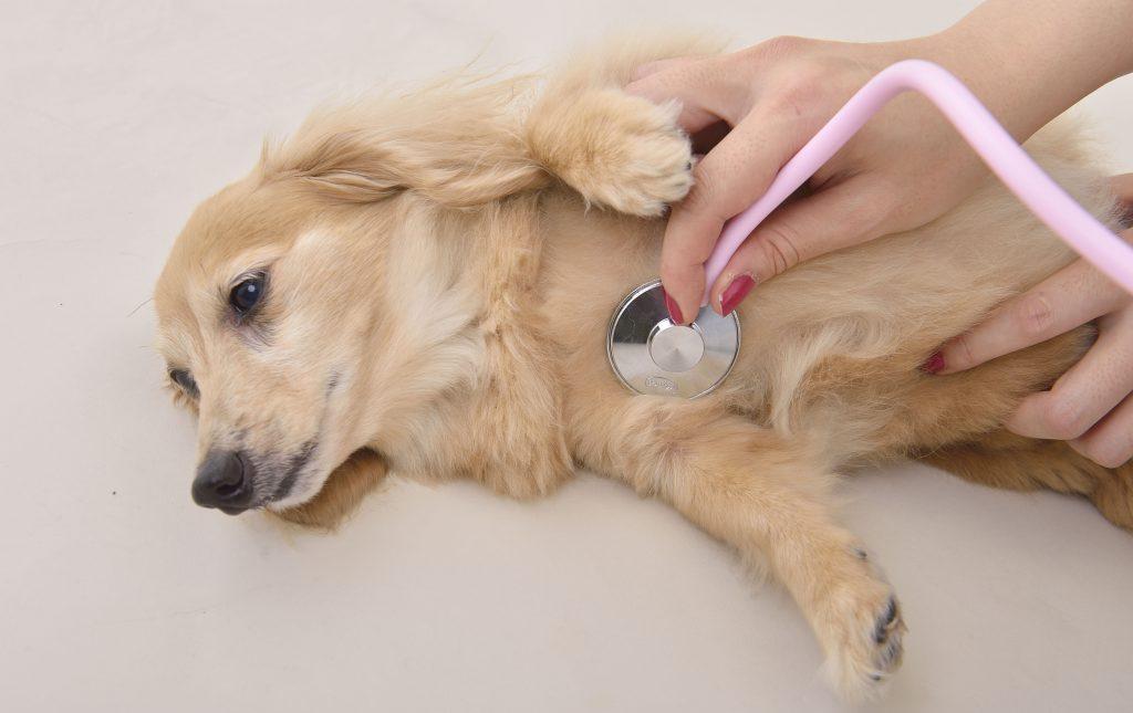 犬 咳 カハッ 愛犬の咳が止まらない!変な咳をする原因は?咳き込む時の対処法は?