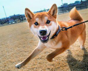 日本犬の触り方